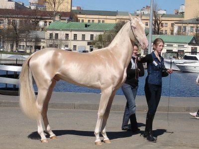 Bu atın cinsi Ahal Teke. Bilim insanları Ahal Teke