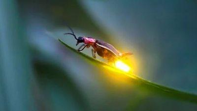 Ateş böceği nasıl ışık saçıyor? Ateş böcekleri na