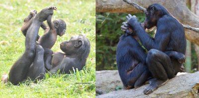 Bonobo nedir? Bonobo, bilimsel adı Pan